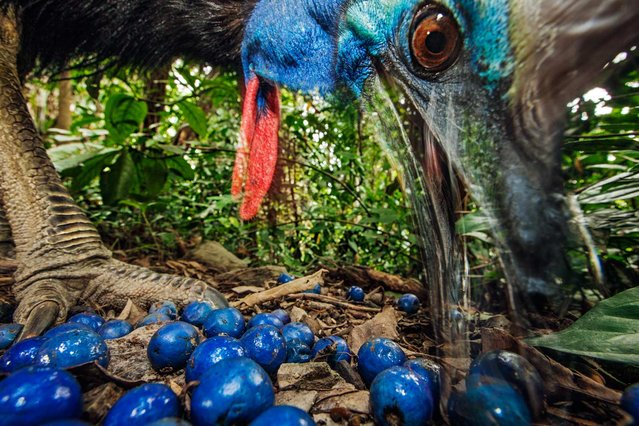 """Cassowaries are large, flightless birds related to emus and (more distantly) to ostriches, rheas, and kiwis"", writes Olivia Judson in the September issue of National Geographic magazine. (Photo by Christian Ziegler/National Geographic)"