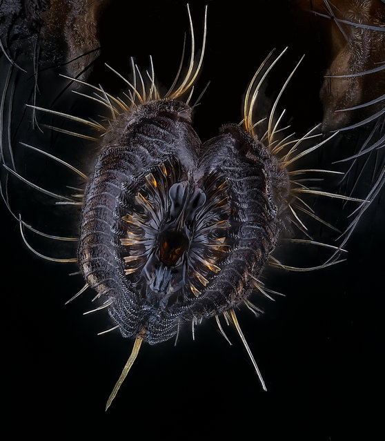 Fifth place: proboscis of a housefly (Musca domestica) (image stacking, 40x objective lens magnification). (Photo by Oliver Dum/Nikon Small World Photomicrography 2021)