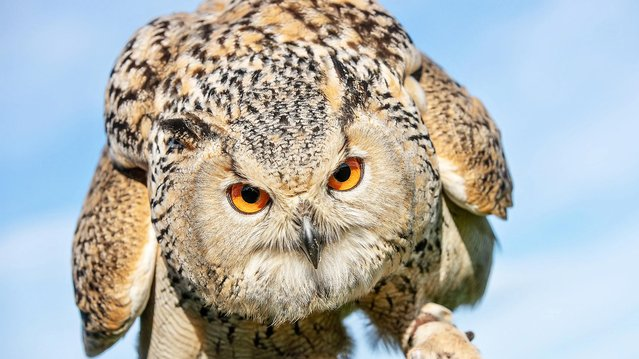 A Siberian eagle owl, which can grow up to 71cm tall, is among a collection of 60 birds of prey at SMJ Falconry near Oxenhope, West Yorkshire, England. (Photo by Charlotte Graham)