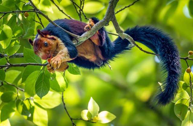 Its main predators are the birds of prey and the leopard. The Giant Squirrel is mostly active in the early hours of the morning and in the evening, resting in the midday. They are typically solitary animals that only come together for breeding. (Photo by Kaushik Vijayan/South West News Service)