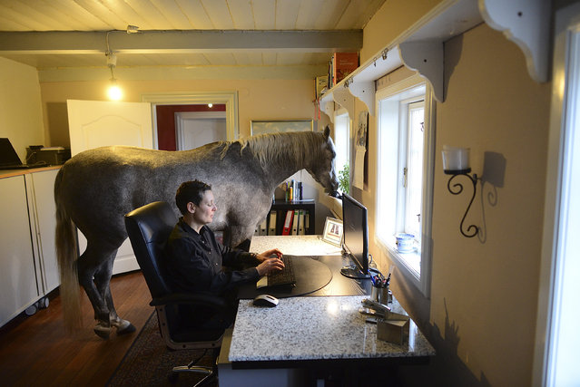 Nasar, an Arabian horse, stands in the office of doctor Stephanie Arndt at her home on February 19, 2014 in Holt, Germany. Fearing for the horse's safety, Mrs. Arndt brought the horse into her house during the Xaver heavy storm back in December, and the horse now wanders through the house daily, inspecting details and looking for snacks. Mrs. Arndt says she doesn't mind, and though the horse never spends the night, it does occasionally take a nap in the house. (Photo by Patrick Lux/Getty Images)