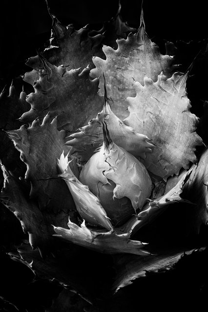 Agave, Portland, Oregon, USA. (Photo by Marc Sheridan/The International Garden Photographer of the Year)