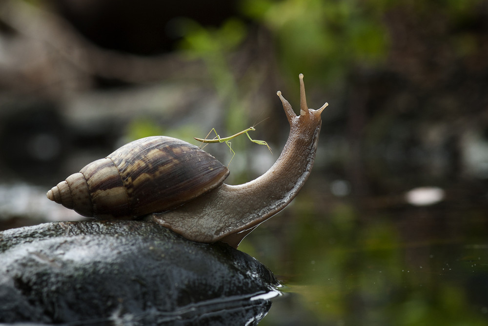 Praying Mantis Rides Snail Through Borneo Jungle