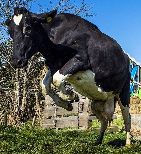 A cow runs and prances as she enters a meadow of a farm in Westzaan, The Netherlands, on March 20, 2014, after staying inside a stable during the winter. (Photo by Remko De Waal/AFP Photo/ANP)
