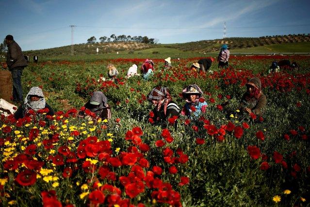 Women harvest green peas in a field near El Kef, Tunisia April 14, 2016. (Photo by Zohra Bensemra/Reuters)