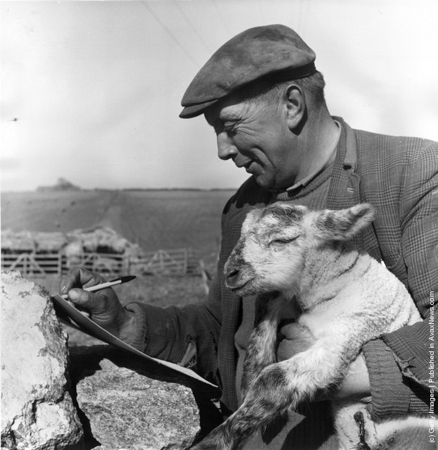 1965: Gloucestershire shepherd Jack Phillips making a record of the day's new lamb arrivals whilst holding one of them