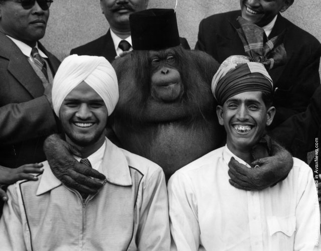 30th June 1956:  Members of the Malayan Police Band Bachan Singh and Abdul Rahman due to appear at the Royal Tournament visit London Zoo and make friends with Anabella the Orang-Outang
