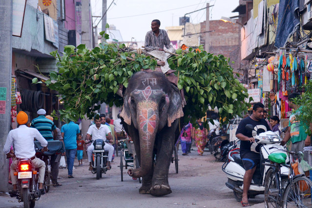 An Indian mahout uses an elephant to transport leaves along a street  in Amritsar on June 30, 2015. The country is home to around 25,000 Asian elephants but their numbers are dwindling mainly due to poaching and the destruction of their habitats by human populations. (Photo by Narinder Nanu/AFP Photo)