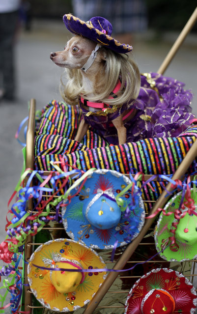 Lupita takes part in the Fiesta Pooch parade and contest, Saturday, April 26, 2014, in San Antonio. The annual event is part of the Fiesta San Antonio celebration. (Photo by Eric Gay/AP Photo)