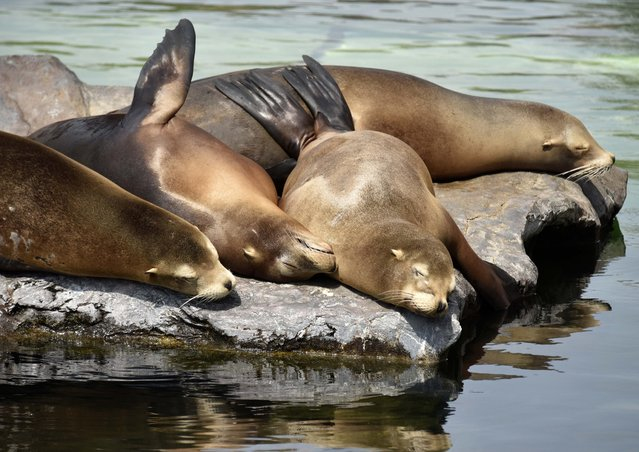 Seals are sleeping in the sun during hot and sunny weather with temperatures up to 35 degrees Celsius (95 Fahrenheit) at the zoo in Gelsenkirchen, Germany, Tuesday, July, 7, 2015. (Photo by Martin Meissner/AP Photo)