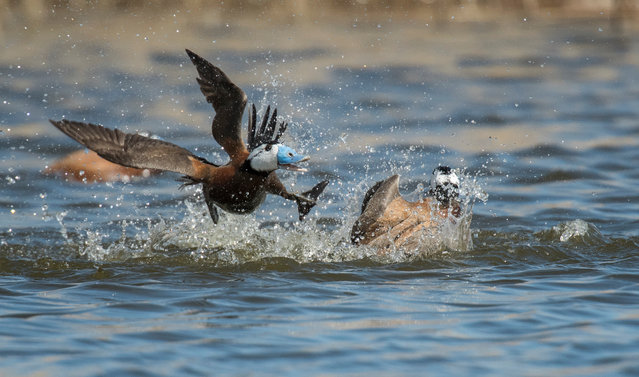 Fighting by Carlos Perez Naval in Navaseca, Ciudad Real, Spain. Shortlisted for young photographer of the year: two white-headed ducks fight over something in the water. (Photo by Carlos Perez Naval/2019 Royal Society of Biology Photography Competition)