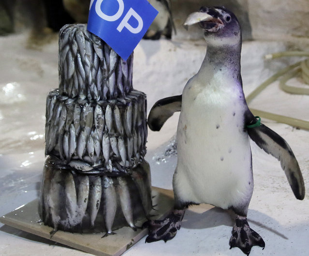 "The first Humboldt penguin born in the Philippines, named ""Kaya"", stands next to a three-tiered frozen ""fish cake"" placed in the penguin habitat at Manila Ocean Park to celebrate its first birthday Wednesday, July 29, 2015, in Manila, Philippines. (Photo by Bullit Marquez/AP Photo)"