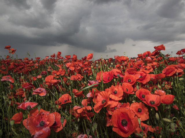 Dark rain clouds move across a field with blooming poppies near the little village of Hasenfelde, eastern Germany, Friday, June 16, 2017. (Photo by Patrick Pleul/DPA via AP Photo)