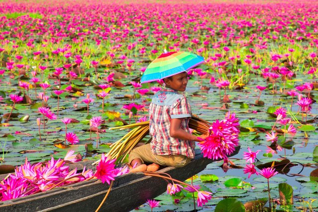 A young farmer harvests water lilies from a canal in Barisal, Bangladesh on October 12, 2019, where the flowers cover the 10,000-acre waterway, to take to nearby markets. (Photo by Azim Khan Ronnie/Caters News Agency)