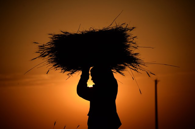 An Afghan farmer carries a bundle of wheat during harvest, at sunset on the outskirts of Mazar-i-Sharif, August 3, 2015. (Photo by Farshad Usyan/AFP Photo)