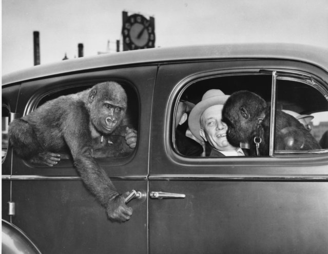 George P. Vierheller, director of the St. Louis Zoo, arrived in St. Louis from New York June 9, 1938 with two gorillas and took them from the station to the zoo in an automobile. The lady gorilla, larger of the two, tries to open the car door, and seems to be considering a dive through the window.  In the front seat Vierheller holds the docile boy friend of his discontent passenger. (Photo by AP Photo)