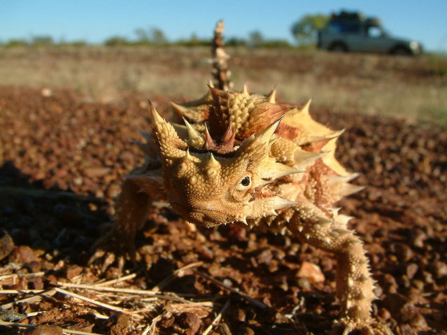 The Thorny Dragon Or Thorny Devil
