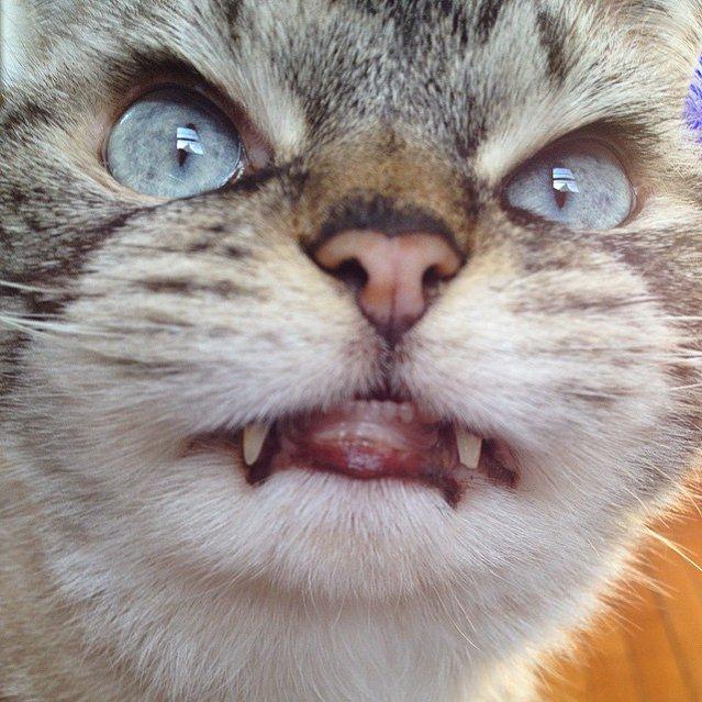 Loki Dracula Cat