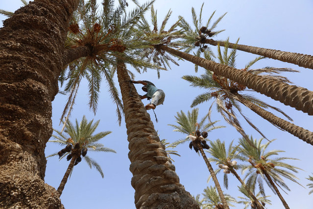 A Palestinian farmer harvests dates at a date palm field in the West Bank City of Jericho, 27 August 2015. Dates have been a staple food in the Middle East for thousands of years. (Photo by Alaa Badarneh/EPA)