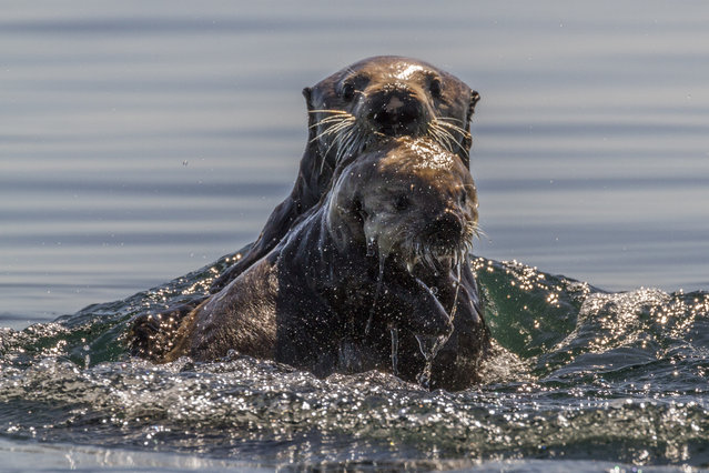An otter with its baby, in June, 2014, on Kodiak Island, Alaska. Driving in an open-roofed jeep is no longer the fashionable way to see wildlife – as this adventurer shows. A keen wildlife photographer has circled islands in the south of Alaska, the United States, in a kayak to see spectacular scenery and animals. (Photo by Daniel Fox/Barcroft Media)