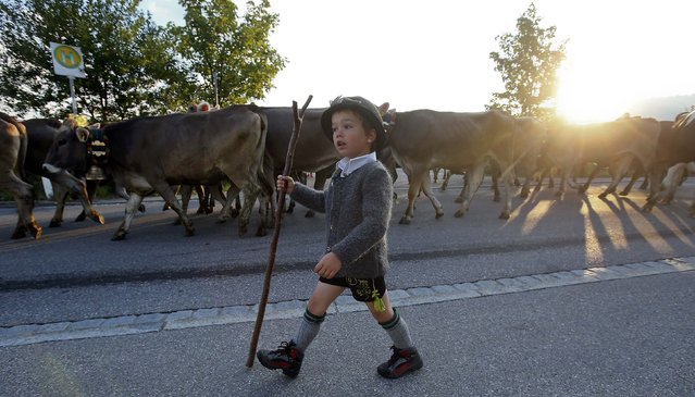 "A Bavarian boy escorts cows during the traditional ""Almabtrieb"" in Oberstaufen, about 180km (110 miles) south of Munich, Germany, September 11, 2015. At the end of the summer season, farmers move their herds down from the Alps to the valley into winter pastures. (Photo by Michael Dalder/Reuters)"