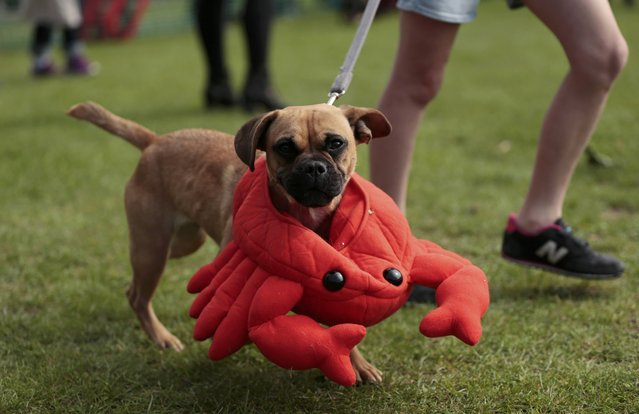 Wearing a crab costume, Mindy is paraded around the show ring during judging at a dog fancy dress event  in London, Britain September 13, 2015. (Photo by Suzanne Plunkett/Reuters)