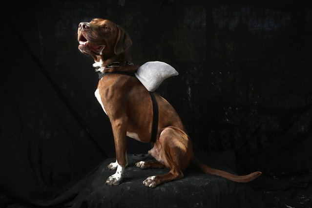 Kona, a pointer, poses as a shark at the Tompkins Square Halloween Dog Parade on October 20, 2012 in New York City