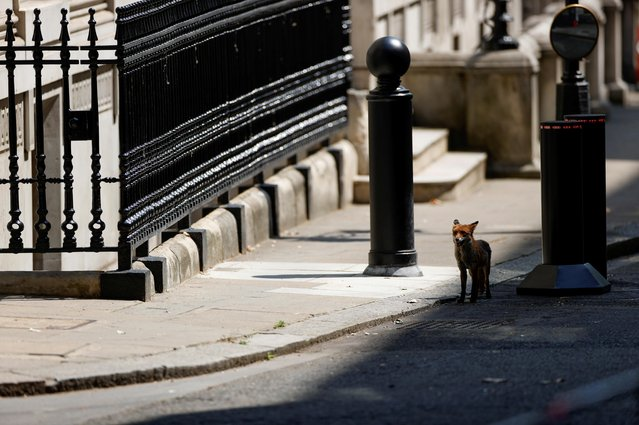 A fox is seen in Downing Street in London, Britain, June 24, 2020. (Photo by John Sibley/Reuters)