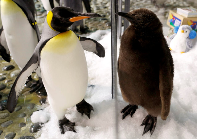 Maru, a two-month-old King Penguin chick and the first successful hatching by the Jurong Bird Park in almost a decade, looks at an adult penguin from a Christmas theme enclosure in the Penguin Coast exhibit at the park in Singapore December 13, 2017. (Photo by Edgar Su/Reuters)