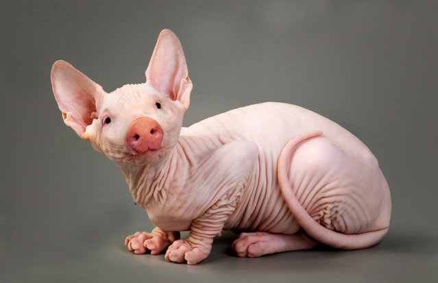 Cross between a cat and a pig. (Photo by Sarah DeRemer/Caters News)