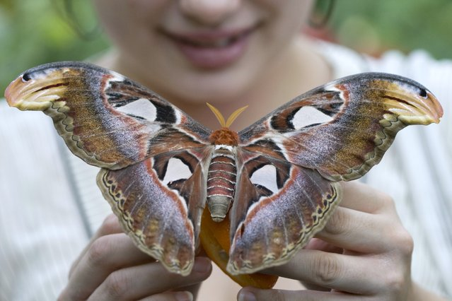 Atlas Moth @ Carleton. (Photo by Terri Oda)