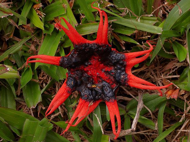 Aseroe rubra (starfish fungi). (Steve Axford)