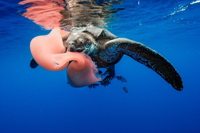 The leatherback turtle, feeding here on a pyrosome, has become increasingly rare in both the tropical Atlantic and Pacific. It declined by 95% between 1989 and 2002 in Las Baulas national park in Costa Rica, mainly caused by mortality at sea due to individuals being caught as bycatch and by development around nesting beaches. Similar trends have been observed throughout the species' range. (Photo by  Brian J. Skerry/NG/Getty Images)