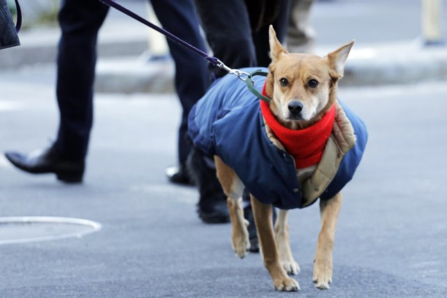 A dog wears a scarf and coat while walking with its owner, Thursday, January 8, 2015 in New York. Dangerously cold air has sent temperatures plummeting into the single digits around the U.S., with wind chills driving them even lower. (Photo by Mark Lennihan/AP Photo)