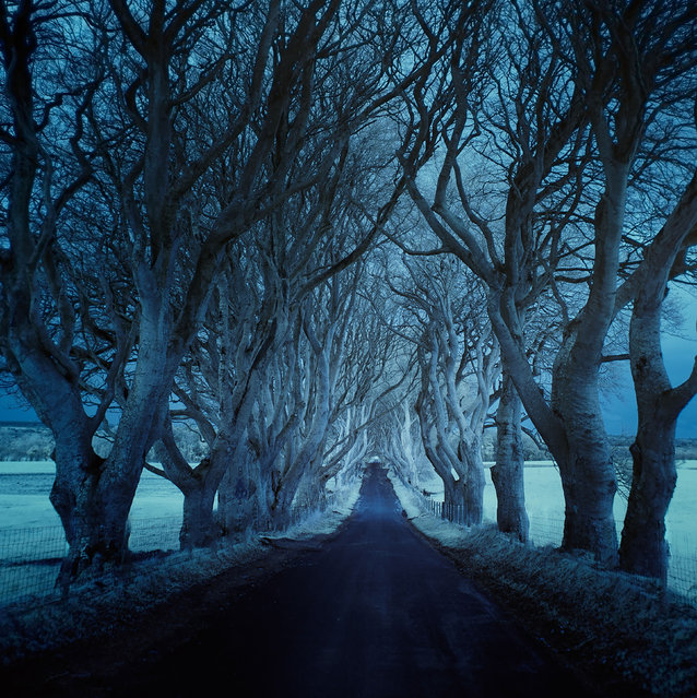 The Dark Hedges lined the roads of Northern Ireland- filming location for the Game of Thrones. (Photo by Andy Lee/Caters News)