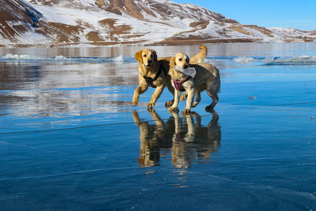A view of Lake Balik as dogs playing on the ice-covered surface of the lake in Igdir province of Turkey on February 02, 2021. (Photo by Bulent Mavzer/Anadolu Agency via Getty Images)