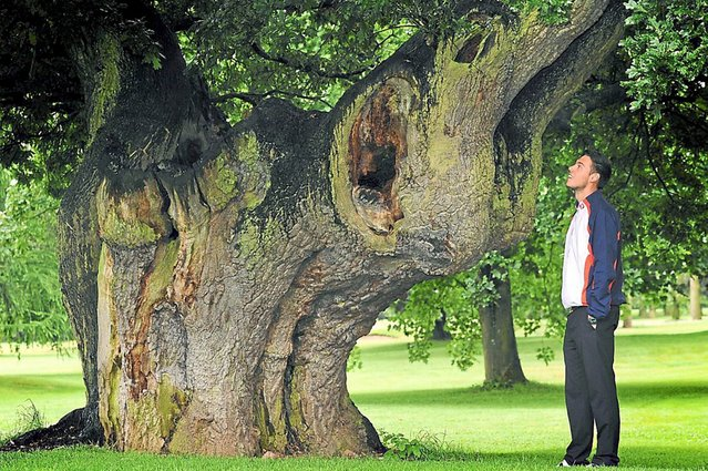 Oliver Clews takes a look at a tree known as the elephant tree at Shifnal Golf Club in Shropshire, on August 8, 2013. (Photo by SWNS)