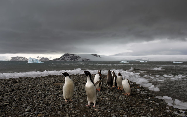 "In this January 27, 2015 photo, penguins walk on the shore of Bahia Almirantazgo in Antarctica.  Antarctica ""is big and it's changing and it affects the rest of the planet and we can't afford to ignore what's going on down there"", said David Vaughan, science director of the British Antarctic Survey. (Photo by Natacha Pisarenko/AP Photo)"
