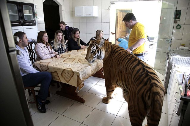 Wevellyn Antunes Rocha, from left to right, Maria Deusaunira Borges, Uyara Borges, Nayara Borges, Daniella Klipe, Gisele Candido, and Ary Borges gather at the breakfast table with tiger Tom, in Maringa, Brazi, on September 27, 2013. Ary Borges, who cares for Tom, eight other tigers and two lionesses, is in a legal battle with federal wildlife officials to keep his endangered animals from undergoing vasectomies and being taken away from him. (Photo by Renata Brito/Associated Press)