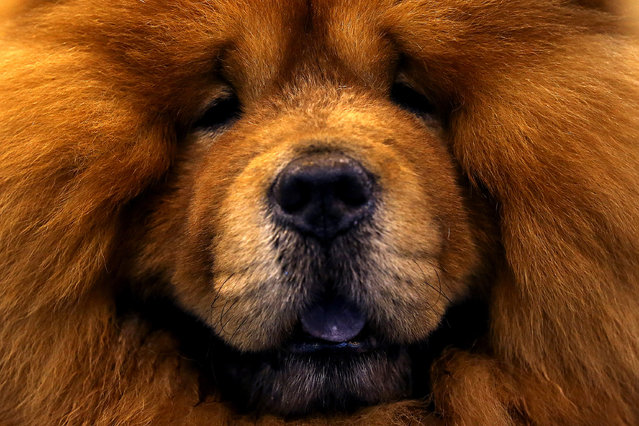 A Chow Chow is seen  on the fourth and final day of Crufts dog show at the National Exhibition Centre on March 8, 2015 in Birmingham, England.  First held in 1891, Crufts is said to be the largest show of its kind in the world. The annual four-day event, features thousands of dogs, with competitors travelling from countries across the globe to take part and vie for the coveted title of 'Best in Show'. (Carl Court/Getty Images)