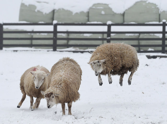 Sheep jump through the snow near Castleside, England, as Britain was bracing itself for more snow as winds from the east sweep across the country, Friday, March 13, 2015. After a week of blue skies and sunshine, temperatures are turning markedly cooler because of a chilly blast from Scandinavia. (Photo by Owen Humphreys/AP Photo/PA Wire)