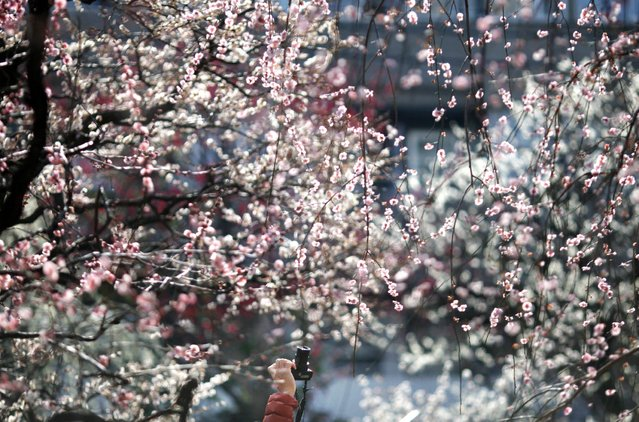 In this Wednesday, March 4, 2015, file photo, a visitor takes a picture of plum blossoms in bloom at Yushima Shinto shrine during the annual plum festival in Tokyo. (Photo by Shuji Kajiyama/AP Photo)