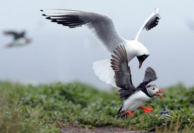 A puffin drops the sand eels it was carrying as it is chased by a gull on the Farne Islands off the Northumberland coast, northern England July 8, 2013. (Photo by Nigel Roddis/Reuters)