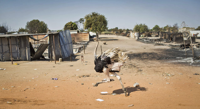 An ostrich runs through empty streets and past destroyed buildings, after government forces on Friday retook from rebel forces the provincial capital of Bentiu, in Unity State, South Sudan, Sunday, January 12, 2014. (Photo by Mackenzie Knowles-Coursin/AP Photo)
