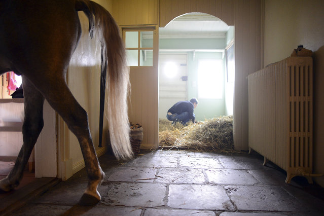Nasar, an Arabian horse, walks in the horses room in the home of  doctor Stephanie Arndt on February 19, 2014 in Holt, Germany. (Photo by Patrick Lux/Getty Images)