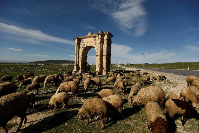 Sheep are seen beside a Roman arch near El Krib, Tunisia April 14, 2016. (Photo by Zohra Bensemra/Reuters)
