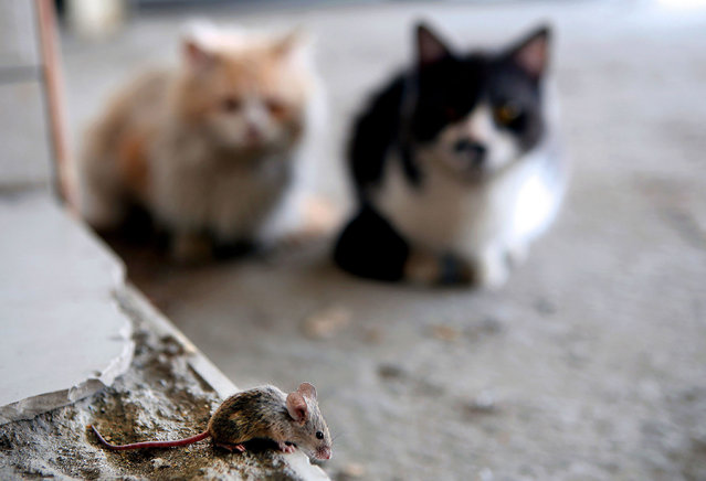 Two cats watch a mouse walking on the pavement in Kuwait City on March 8,2017. (Photo by Yasser Al-Zayyat/AFP Photo)