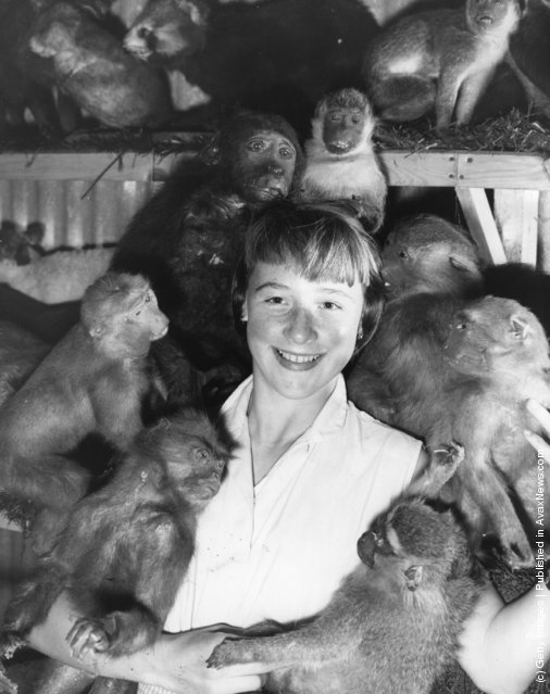 20th August 1958:  Twelve-year-old Joan Moore with stuffed monkeys at Edward Gerrard's, the taxidermists