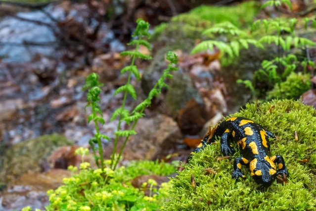 A fire salamander (Salamandra salamandra) sits on moss near Geraberg, Germany, 28 April 2014. A project of the Nature Foundation David ai,s to renaturalize 80 km of spring-fed brooks in the Thuringian Forest until 2017 in order to provide a habitat for rare species like the fire salamander. (Photo by Michael Reichel/EPA)