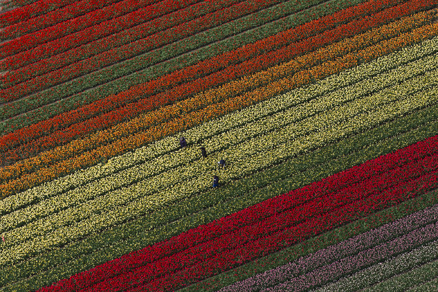 People work in tulip fields surrounding Keukenhof spring garden, in Lisse, some 20 kilometers form Amsterdam, Netherlands, Wednesday, April 19, 2017. Keukenhof has more than 7 million bulbs in bloom this spring, with a total of 800 varieties of tulips and is open from March 23 until May 21, 2017. (Photo by Peter Dejong/AP Photo)